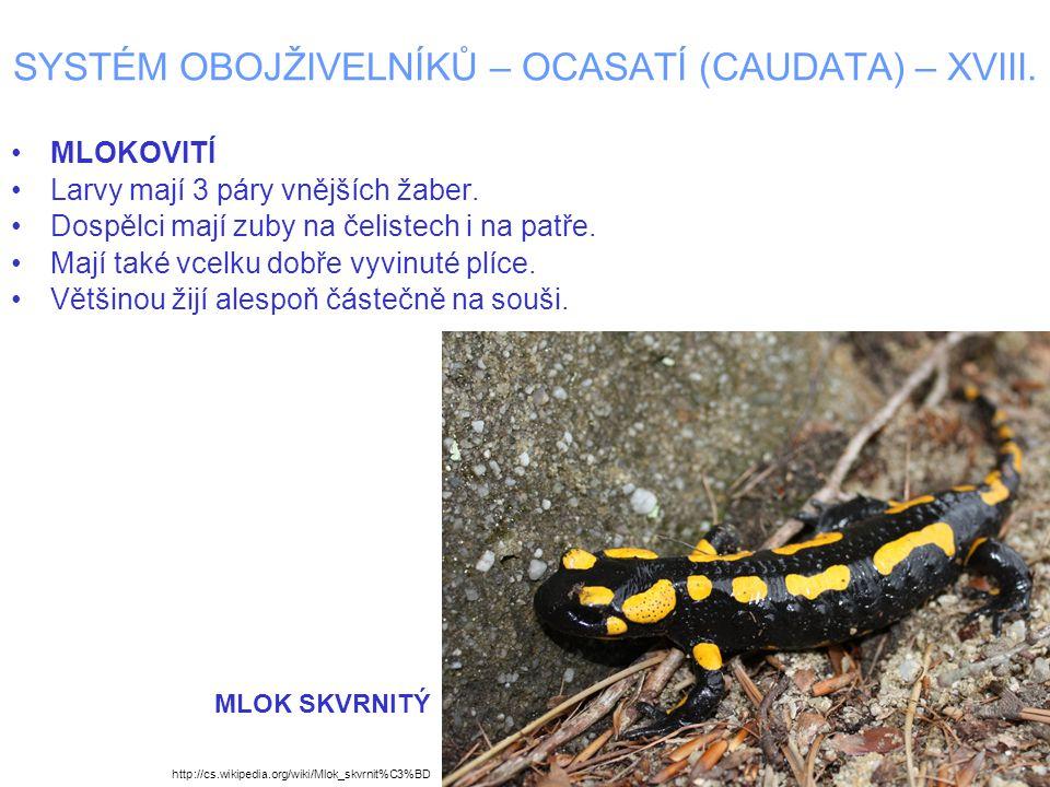 SYSTÉM OBOJŽIVELNÍKŮ – OCASATÍ (CAUDATA) – XVIII. MLOKOVITÍ Larvy mají 3 páry vnějších žaber. Dospělci mají zuby na čelistech i na patře. Mají také vc