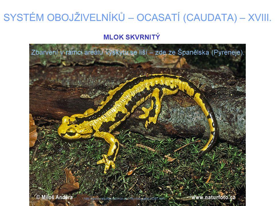 SYSTÉM OBOJŽIVELNÍKŮ – OCASATÍ (CAUDATA) – XVIII. Zbarvení v rámci areálu výskytu se liší – zde ze Španělska (Pyreneje). MLOK SKVRNITÝ http://www.natu