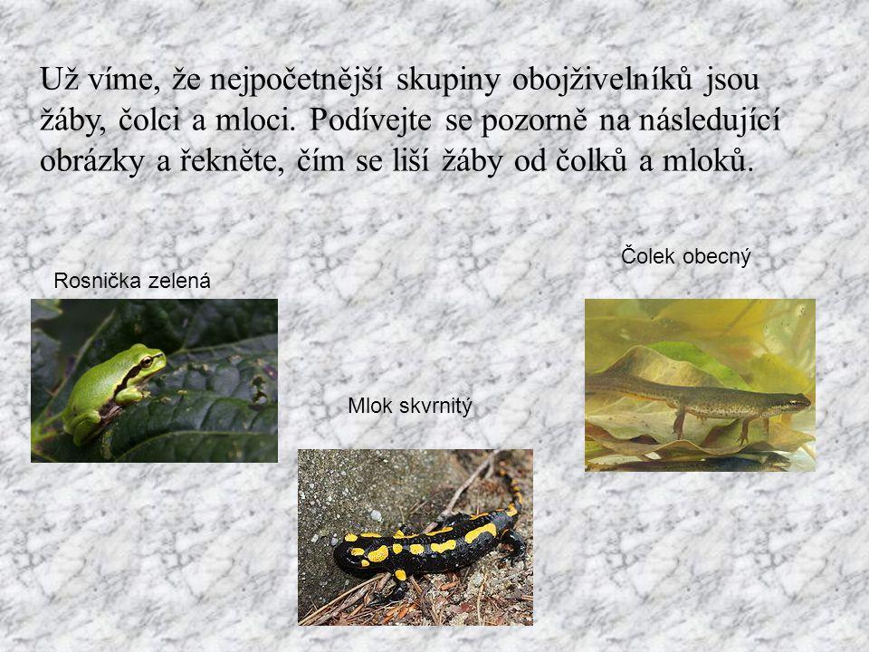 Už víme, že nejpočetnější skupiny obojživelníků jsou žáby, čolci a mloci.