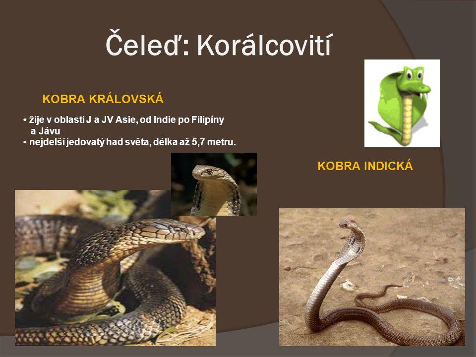 Čeleď: Korálcovití žije v oblasti J a JV Asie, od Indie po Filipíny a Jávu nejdelší jedovatý had světa, délka až 5,7 metru. KOBRA KRÁLOVSKÁ KOBRA INDI