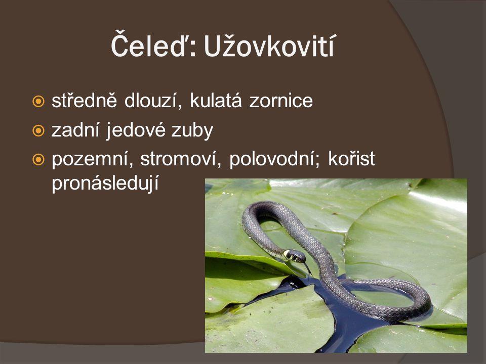 Čeleď: Korálcovití žije v oblasti J a JV Asie, od Indie po Filipíny a Jávu nejdelší jedovatý had světa, délka až 5,7 metru.