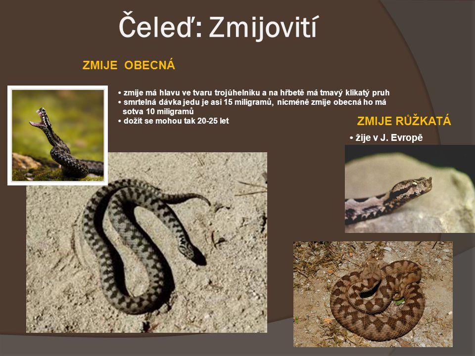 Čeleď: Zmijovití zmije má hlavu ve tvaru trojúhelníku a na hřbetě má tmavý klikatý pruh smrtelná dávka jedu je asi 15 miligramů, nicméně zmije obecná