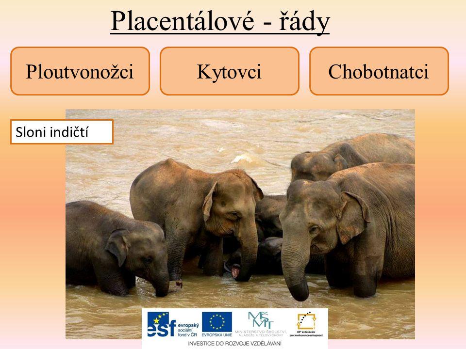 Placentálové - řády PloutvonožciKytovciChobotnatci Tuleň obecnýDelfín obecnýSloni indičtí