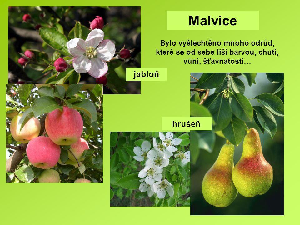 Malvice jabloň hrušeň Bylo vyšlechtěno mnoho odrůd, které se od sebe liší barvou, chutí, vůní, šťavnatostí…
