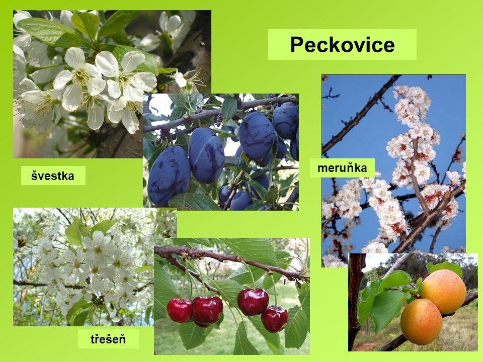 švestka třešeň meruňka Peckovice