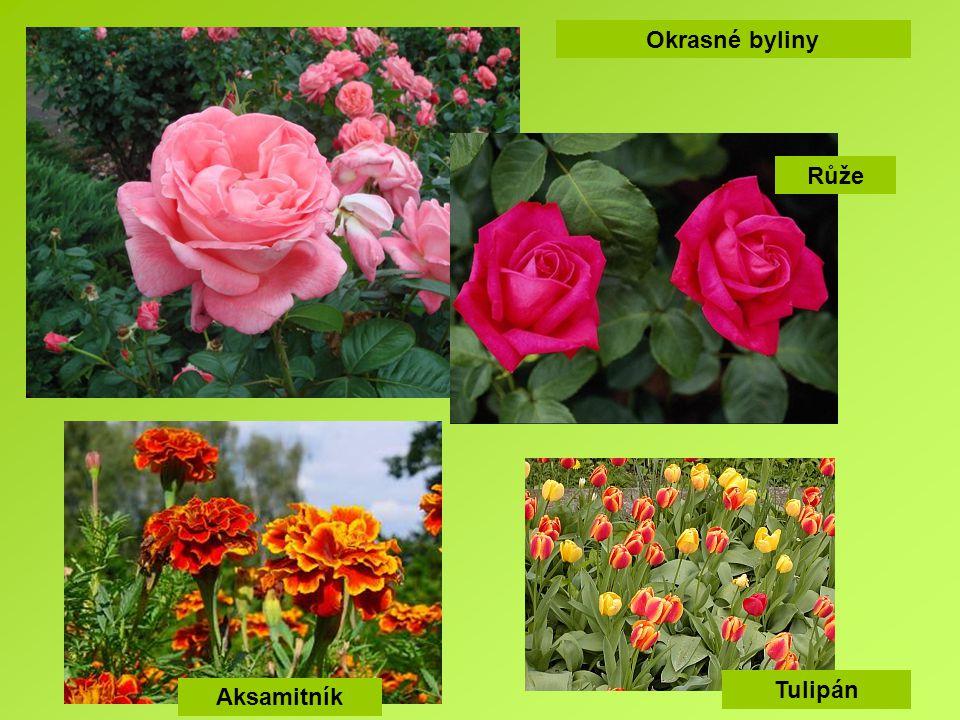 Okrasné byliny Aksamitník Tulipán Růže