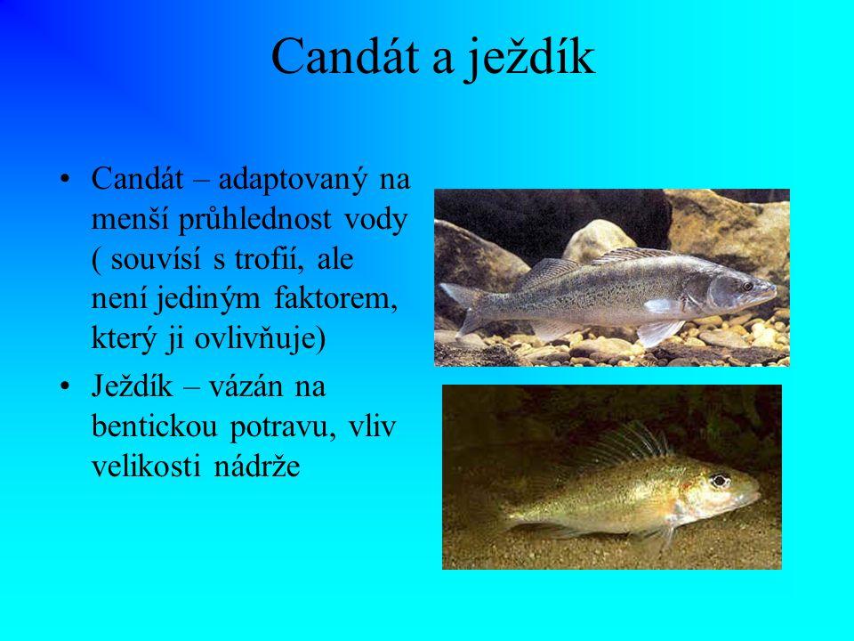 Candát a ježdík Candát – adaptovaný na menší průhlednost vody ( souvísí s trofií, ale není jediným faktorem, který ji ovlivňuje) Ježdík – vázán na ben