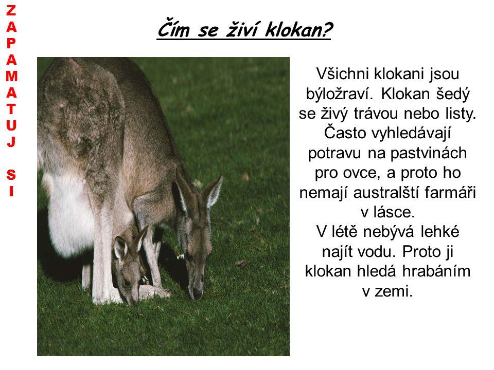 Čím se živí klokan? Všichni klokani jsou býložraví. Klokan šedý se živý trávou nebo listy. Často vyhledávají potravu na pastvinách pro ovce, a proto h