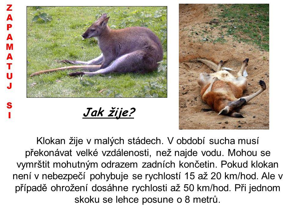 Jak žije? ZAPAMATUJSIZAPAMATUJSI Klokan žije v malých stádech. V období sucha musí překonávat velké vzdálenosti, než najde vodu. Mohou se vymrštit moh