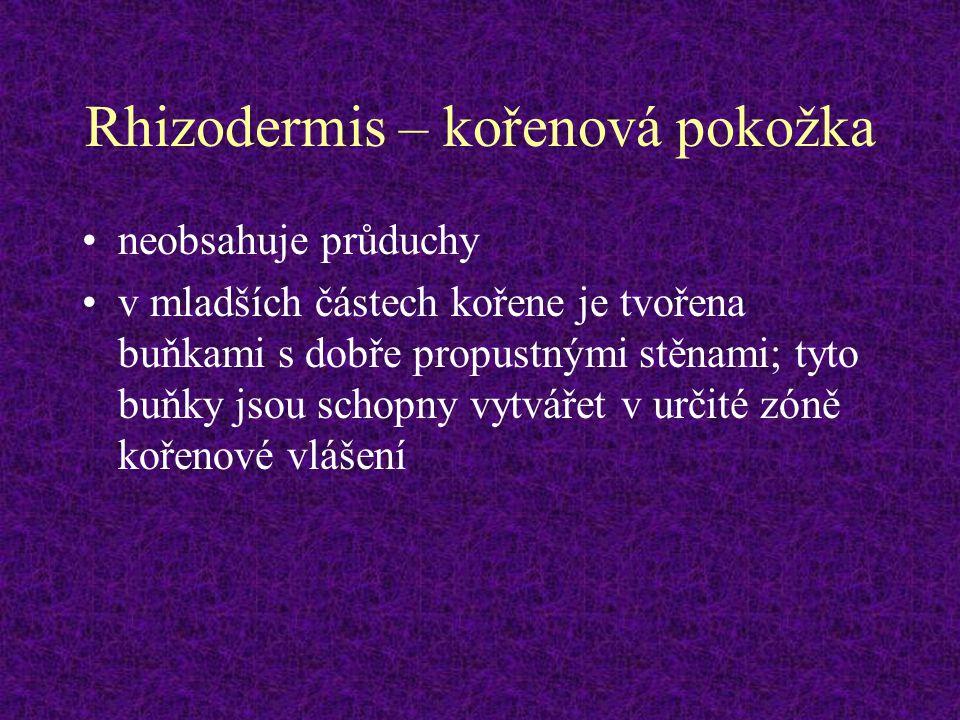 Rhizodermis – kořenová pokožka neobsahuje průduchy v mladších částech kořene je tvořena buňkami s dobře propustnými stěnami; tyto buňky jsou schopny v