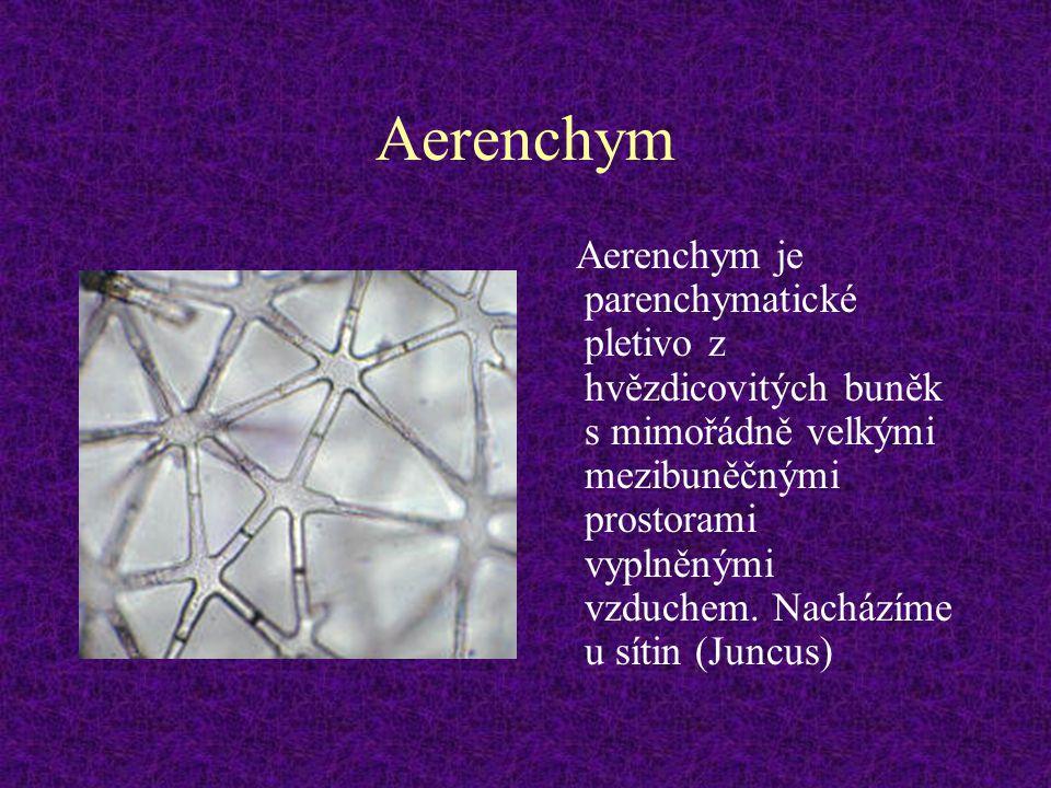 Aerenchym Aerenchym je parenchymatické pletivo z hvězdicovitých buněk s mimořádně velkými mezibuněčnými prostorami vyplněnými vzduchem. Nacházíme u sí