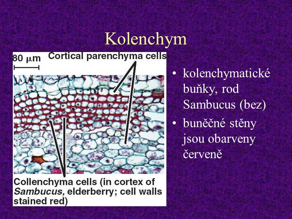 Kolenchym kolenchymatické buňky, rod Sambucus (bez) buněčné stěny jsou obarveny červeně