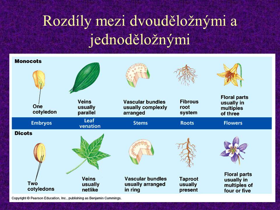 Cévní svazky 1.kolaterální - nejčastější typ u semenných rostlin; též u přesliček.