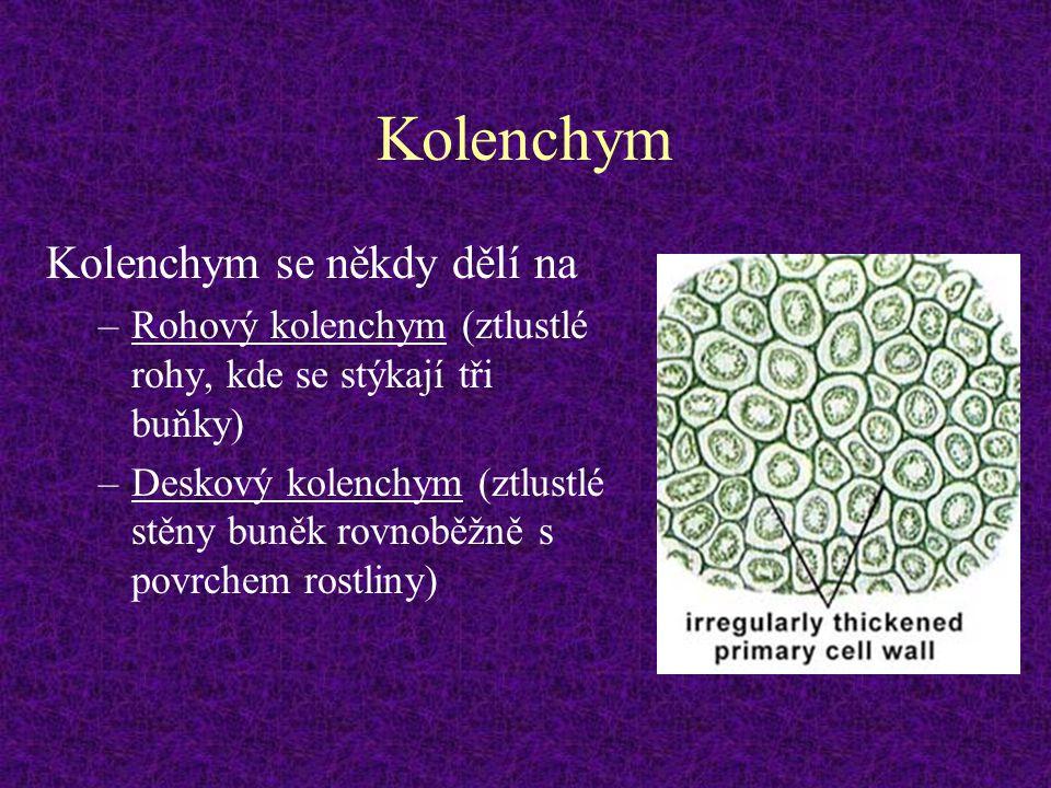 Kolenchym Kolenchym se někdy dělí na –Rohový kolenchym (ztlustlé rohy, kde se stýkají tři buňky) –Deskový kolenchym (ztlustlé stěny buněk rovnoběžně s