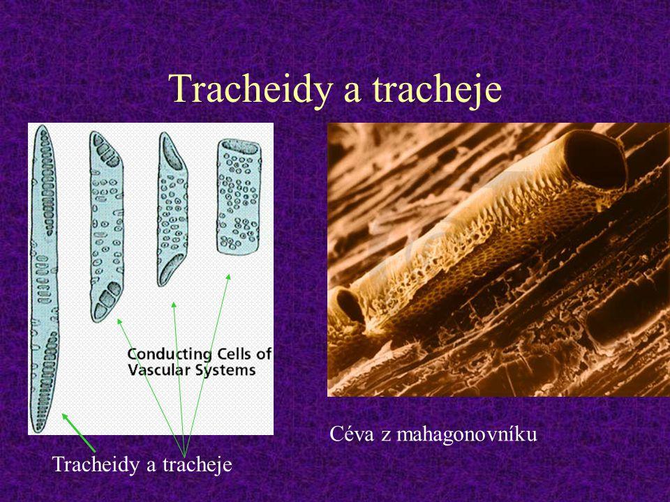 Tracheidy a tracheje Céva z mahagonovníku