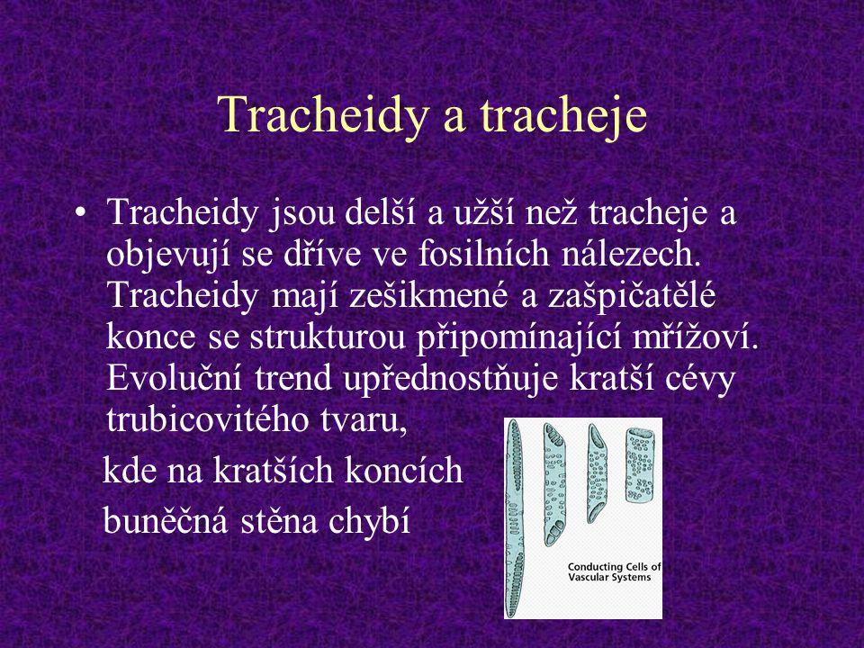 Tracheidy a tracheje Tracheidy jsou delší a užší než tracheje a objevují se dříve ve fosilních nálezech. Tracheidy mají zešikmené a zašpičatělé konce