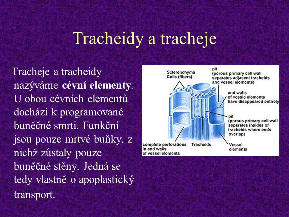 Tracheidy a tracheje Tracheje a tracheidy nazýváme cévní elementy. U obou cévních elementů dochází k programované buněčné smrti. Funkční jsou pouze mr