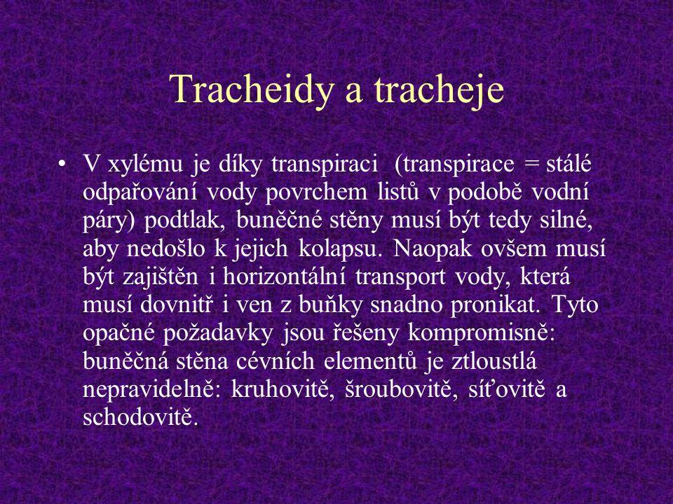 Tracheidy a tracheje V xylému je díky transpiraci (transpirace = stálé odpařování vody povrchem listů v podobě vodní páry) podtlak, buněčné stěny musí
