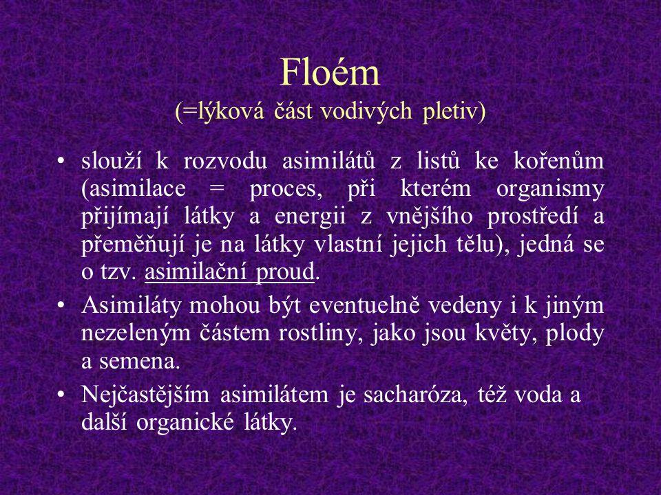 Floém (=lýková část vodivých pletiv) slouží k rozvodu asimilátů z listů ke kořenům (asimilace = proces, při kterém organismy přijímají látky a energii