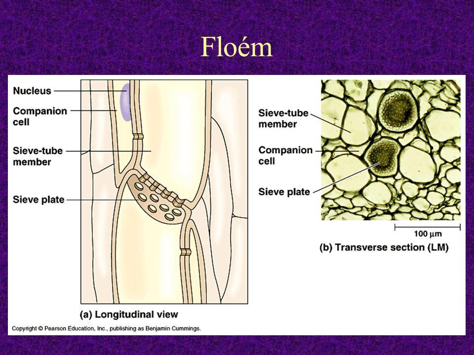 Floém