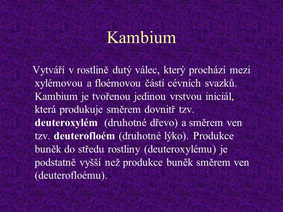 Kambium Vytváří v rostlině dutý válec, který prochází mezi xylémovou a floémovou částí cévních svazků. Kambium je tvořenou jedinou vrstvou iniciál, kt
