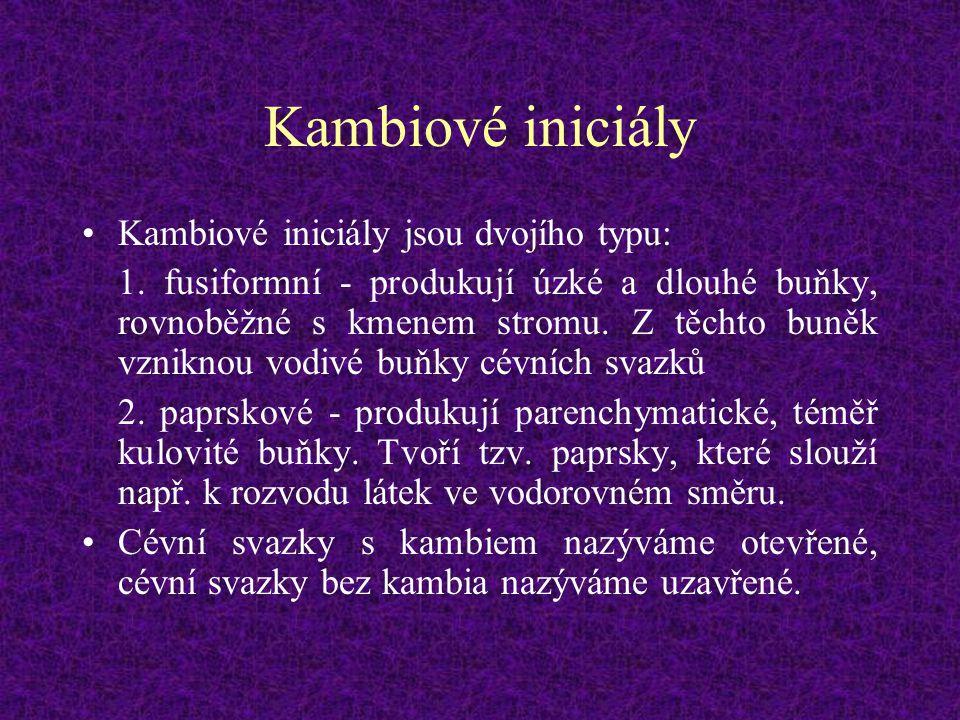 Kambiové iniciály Kambiové iniciály jsou dvojího typu: 1. fusiformní - produkují úzké a dlouhé buňky, rovnoběžné s kmenem stromu. Z těchto buněk vznik