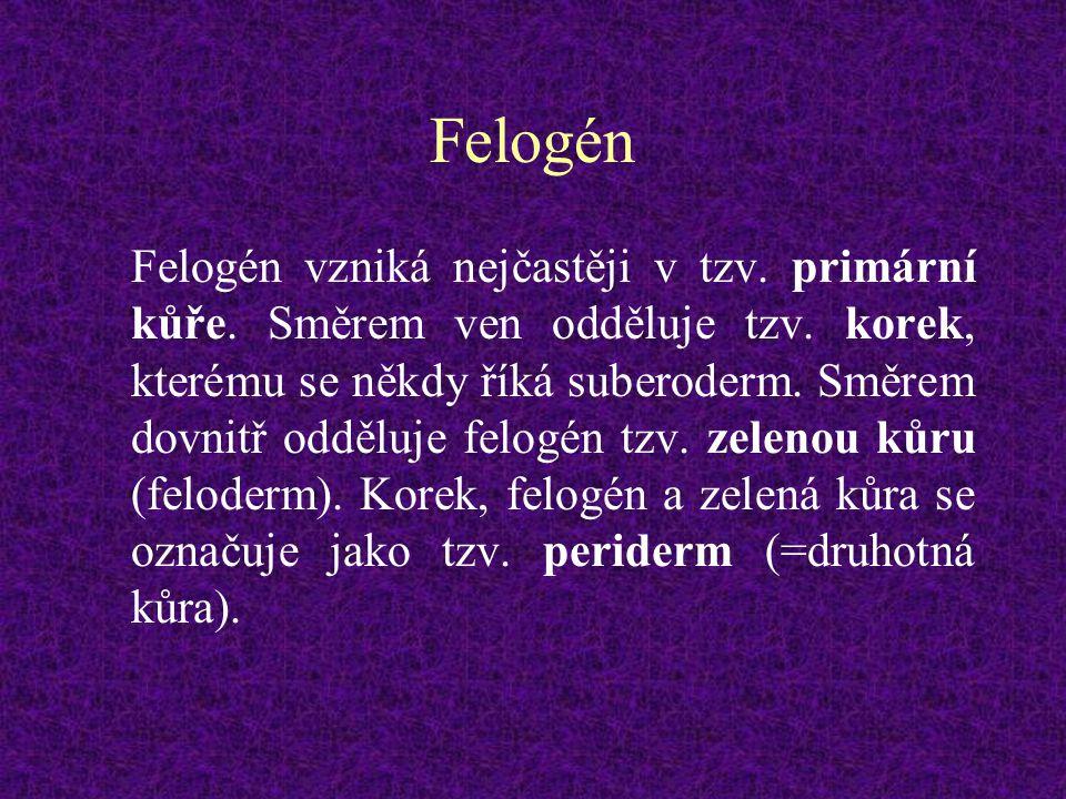 Felogén Felogén vzniká nejčastěji v tzv. primární kůře. Směrem ven odděluje tzv. korek, kterému se někdy říká suberoderm. Směrem dovnitř odděluje felo