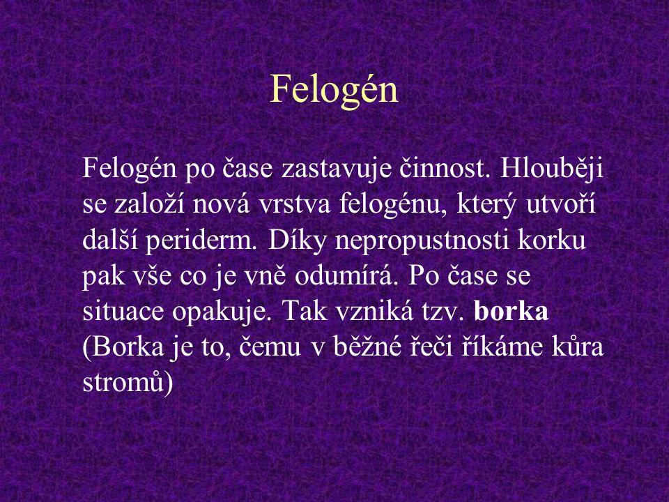 Felogén Felogén po čase zastavuje činnost. Hlouběji se založí nová vrstva felogénu, který utvoří další periderm. Díky nepropustnosti korku pak vše co