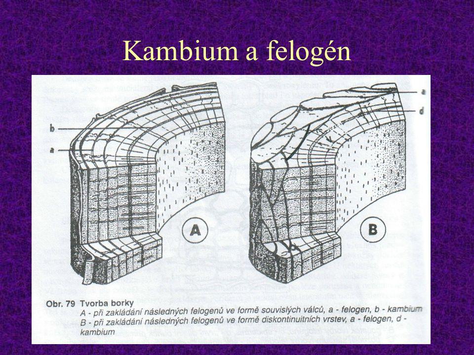 Kambium a felogén
