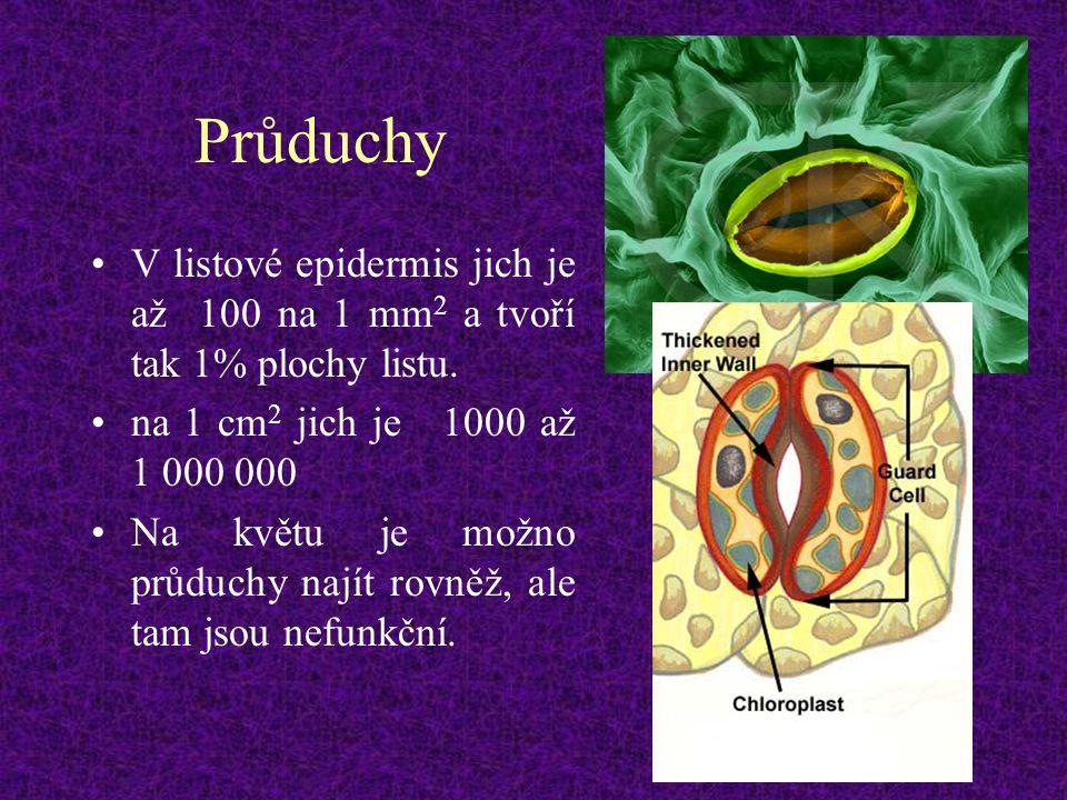 Průduchy V listové epidermis jich je až 100 na 1 mm 2 a tvoří tak 1% plochy listu. na 1 cm 2 jich je 1000 až 1 000 000 Na květu je možno průduchy nají