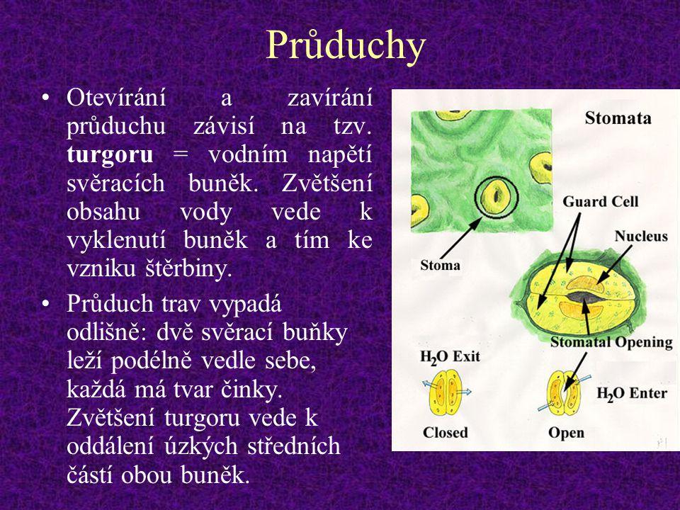 Průduchy Otevírání a zavírání průduchu závisí na tzv. turgoru = vodním napětí svěracích buněk. Zvětšení obsahu vody vede k vyklenutí buněk a tím ke vz