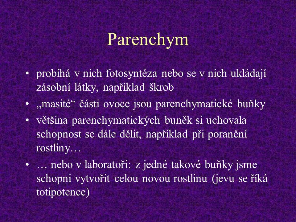 """Parenchym probíhá v nich fotosyntéza nebo se v nich ukládají zásobní látky, například škrob """"masité"""" části ovoce jsou parenchymatické buňky většina pa"""