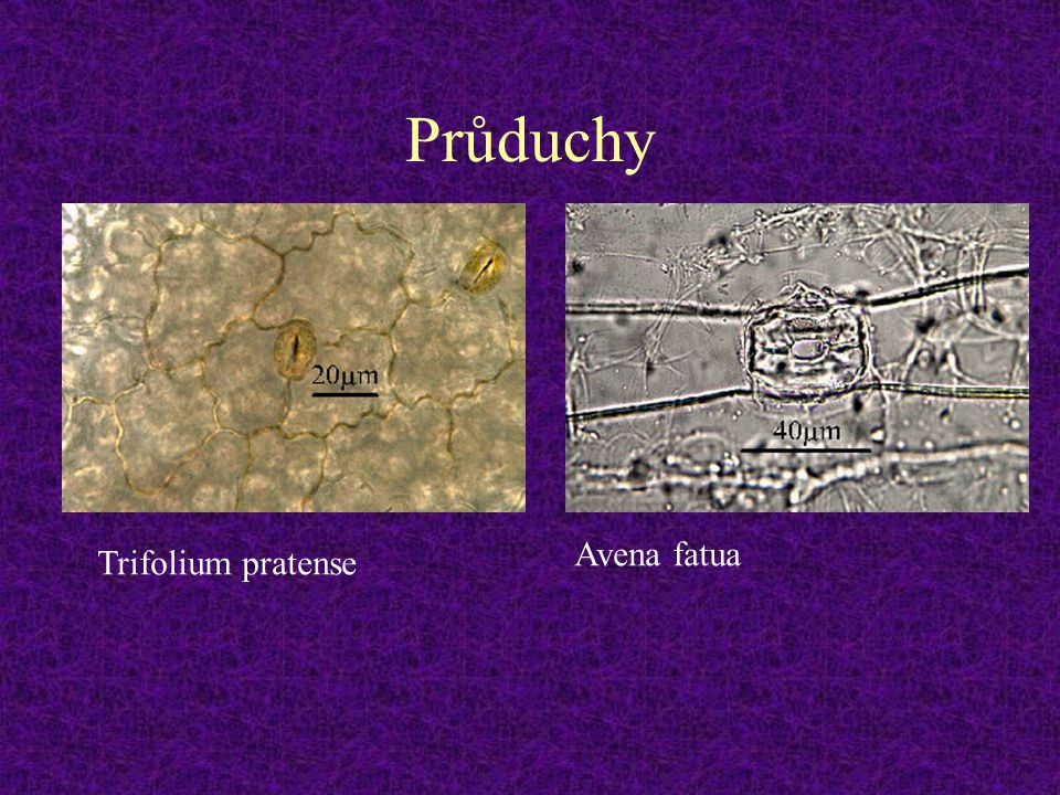 Průduchy Trifolium pratense Avena fatua