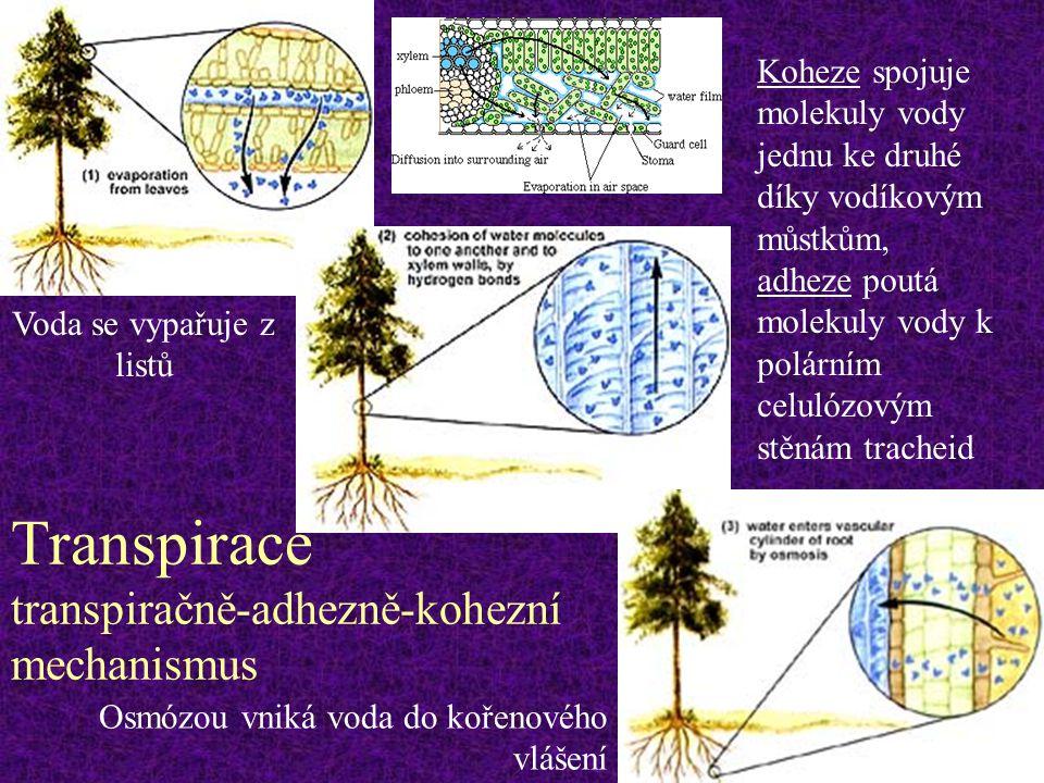 Transpirace transpiračně-adhezně-kohezní mechanismus Koheze spojuje molekuly vody jednu ke druhé díky vodíkovým můstkům, adheze poutá molekuly vody k