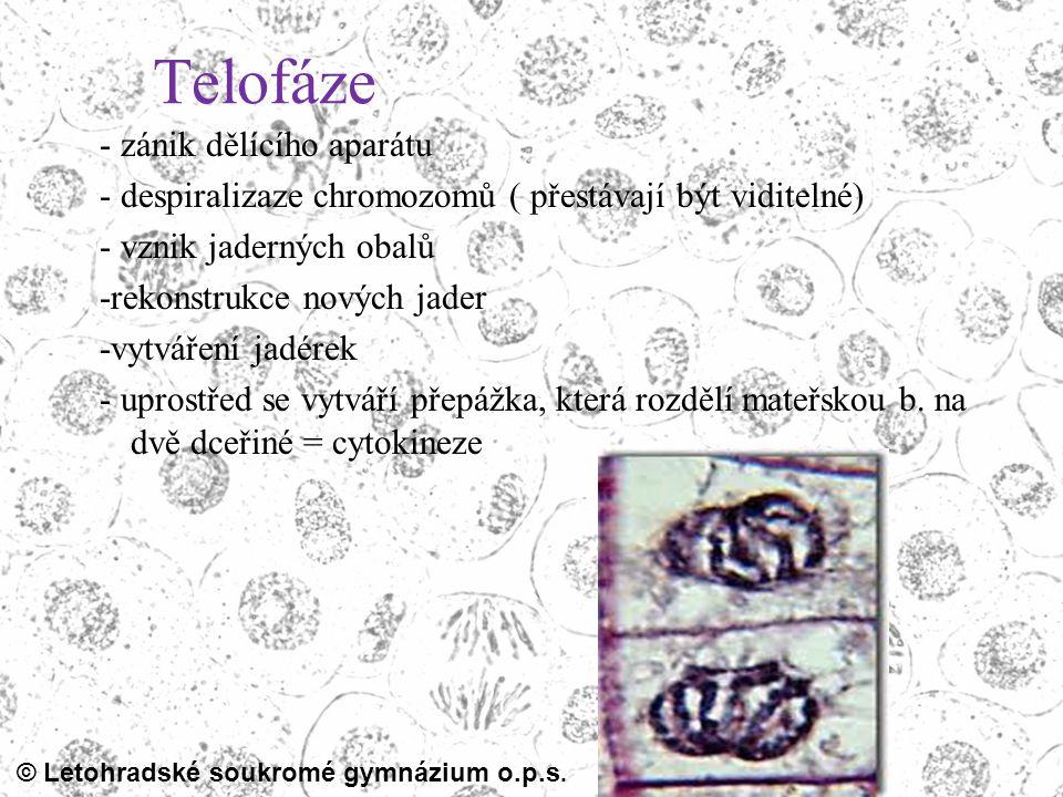 © Letohradské soukromé gymnázium o.p.s. Telofáze - zánik dělícího aparátu - despiralizaze chromozomů ( přestávají být viditelné) - vznik jaderných oba