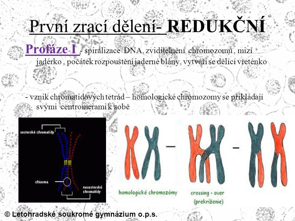 © Letohradské soukromé gymnázium o.p.s. První zrací dělení- REDUKČNÍ Profáze I - spiralizace DNA, zviditelnění chromozomů, mizí jadérko, počátek rozpo