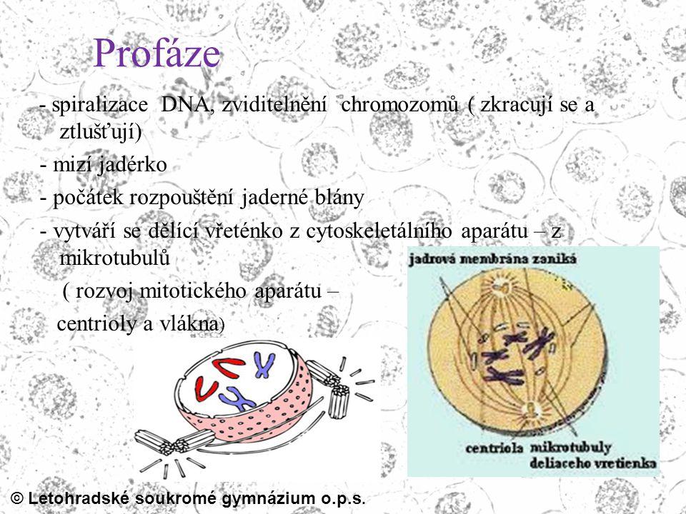 © Letohradské soukromé gymnázium o.p.s. Profáze - spiralizace DNA, zviditelnění chromozomů ( zkracují se a ztlušťují) - mizí jadérko - počátek rozpouš