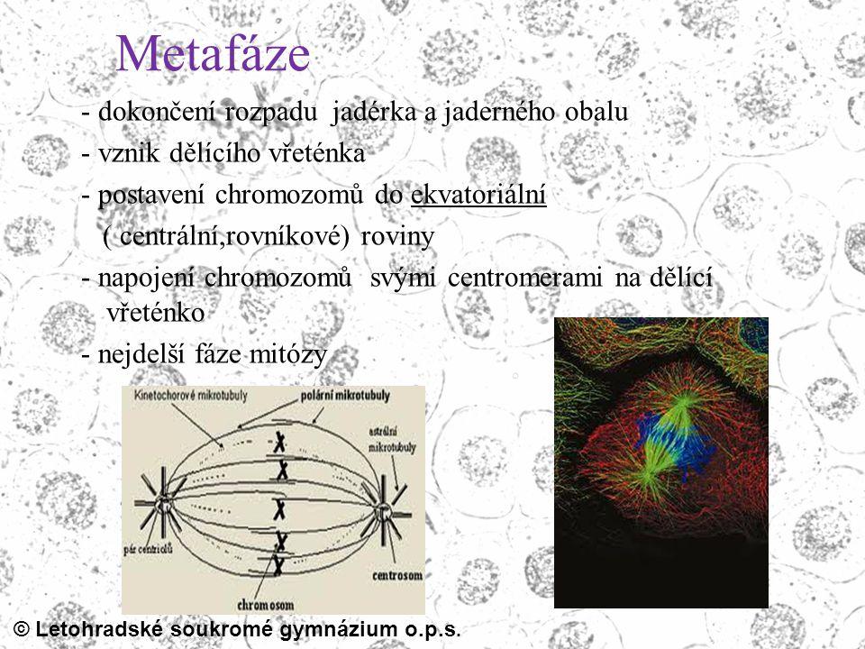© Letohradské soukromé gymnázium o.p.s. Metafáze - dokončení rozpadu jadérka a jaderného obalu - vznik dělícího vřeténka - postavení chromozomů do ekv