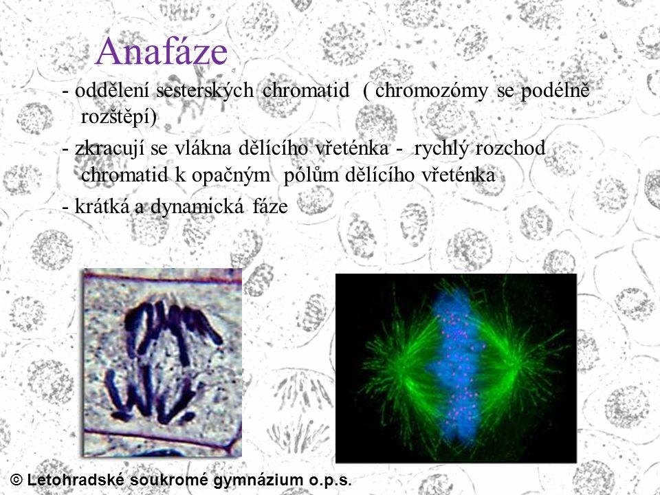Anafáze - oddělení sesterských chromatid ( chromozómy se podélně rozštěpí) - zkracují se vlákna dělícího vřeténka - rychlý rozchod chromatid k opačným