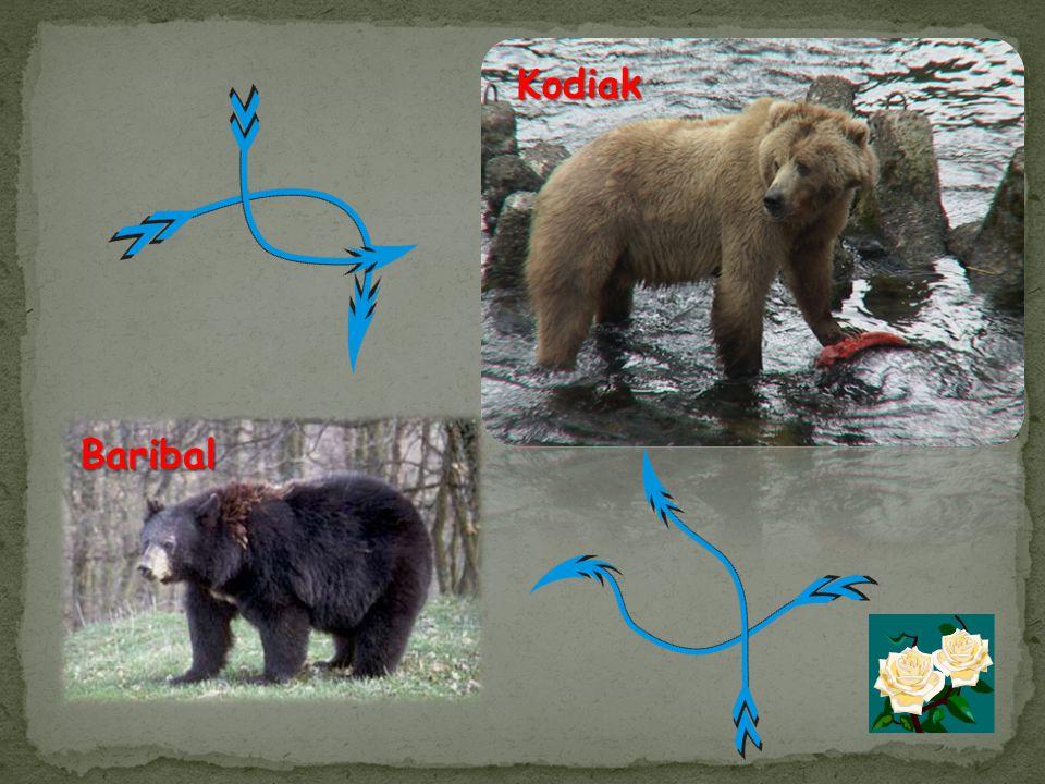 Baribal Kodiak