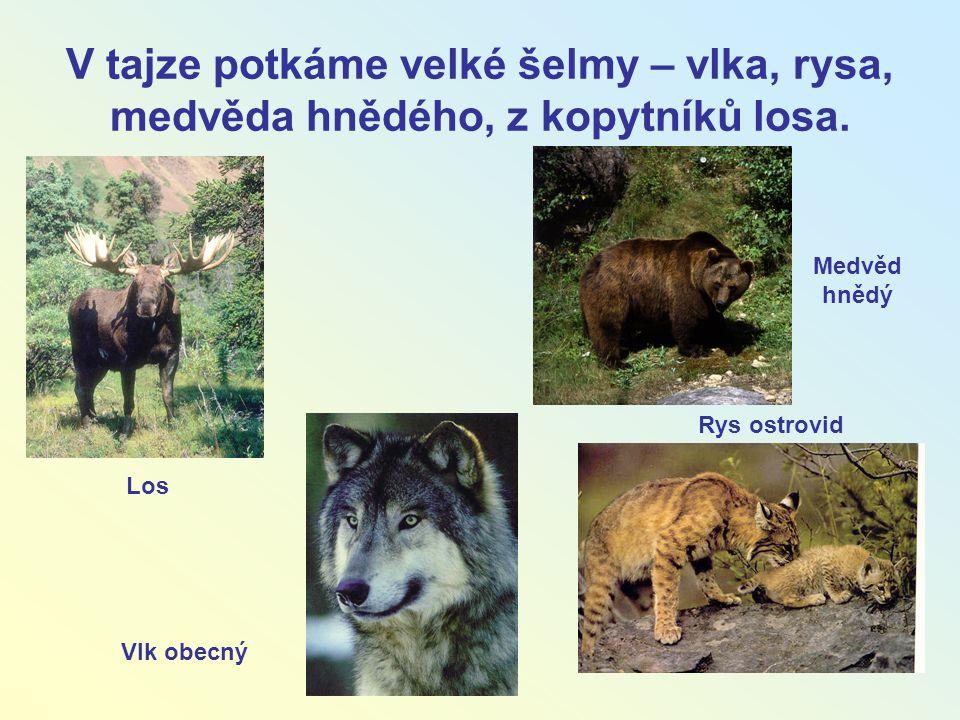 V tajze potkáme velké šelmy – vlka, rysa, medvěda hnědého, z kopytníků losa. Rys ostrovid Medvěd hnědý Vlk obecný Los