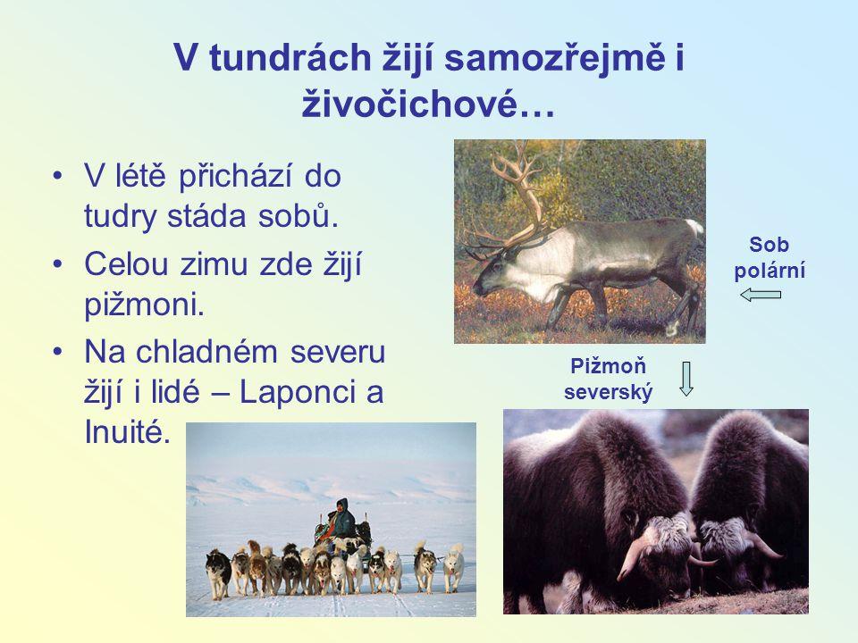 V tundrách žijí samozřejmě i živočichové… V létě přichází do tudry stáda sobů. Celou zimu zde žijí pižmoni. Na chladném severu žijí i lidé – Laponci a