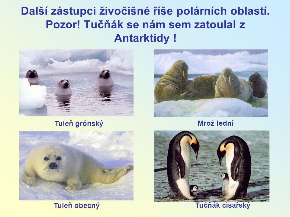 Další zástupci živočišné říše polárních oblastí. Pozor! Tučňák se nám sem zatoulal z Antarktidy ! Tuleň obecný Mrož lední Tučňák císařský Tuleň grónsk