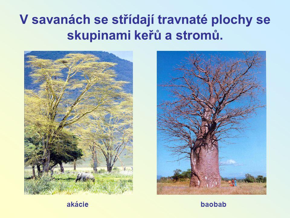 V savanách se střídají travnaté plochy se skupinami keřů a stromů. akáciebaobab