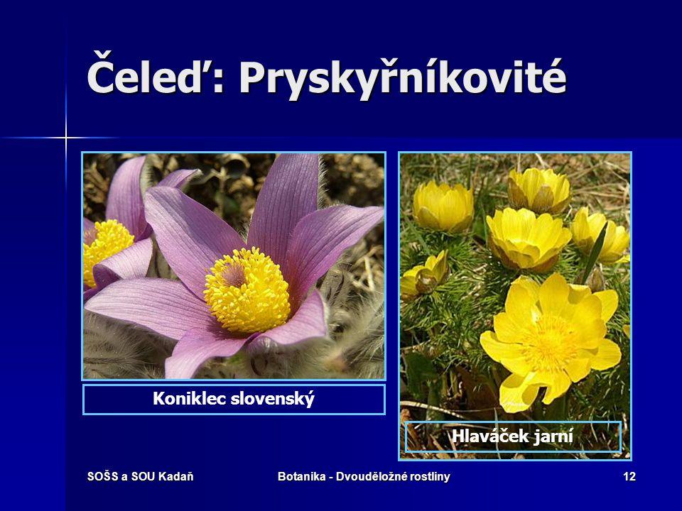 SOŠS a SOU KadaňBotanika - Dvouděložné rostliny11 Čeleď: Pryskyřníkovité Květní vzorec Květy jednotlivé nebo v hroznovitém květenství, někdy okvětí. K