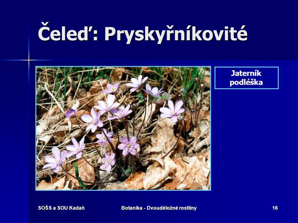 SOŠS a SOU KadaňBotanika - Dvouděložné rostliny15 Čeleď: Pryskyřníkovité Pryskyřník žlutý