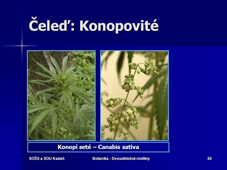 SOŠS a SOU KadaňBotanika - Dvouděložné rostliny24 Čeleď: Konopovité Jsou to drsně chlupaté byliny, často popínavé, rozšířené v mírném pásu severní pol