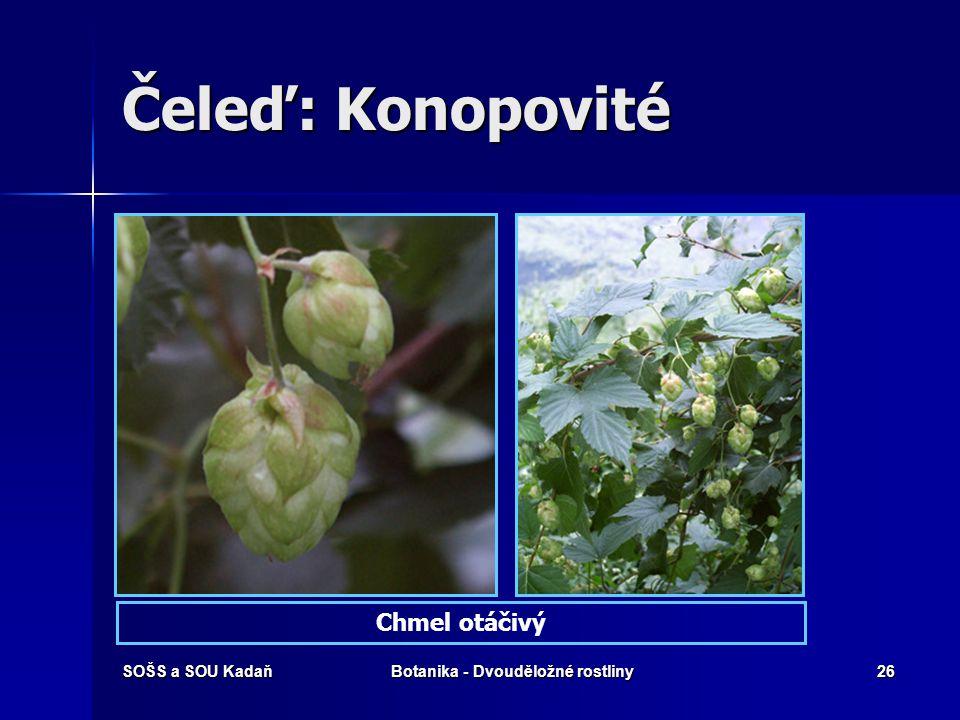 SOŠS a SOU KadaňBotanika - Dvouděložné rostliny25 Čeleď: Konopovité Konopí seté – Canabis sativa