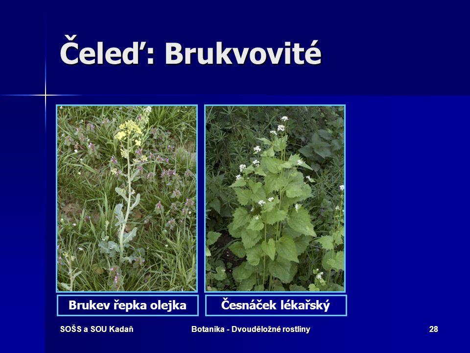 SOŠS a SOU KadaňBotanika - Dvouděložné rostliny27 Čeleď: Brukvovité Tato početná čeleď zahrnuje jednoleté až vytrvalé byliny. Listy jsou nejčastěji st