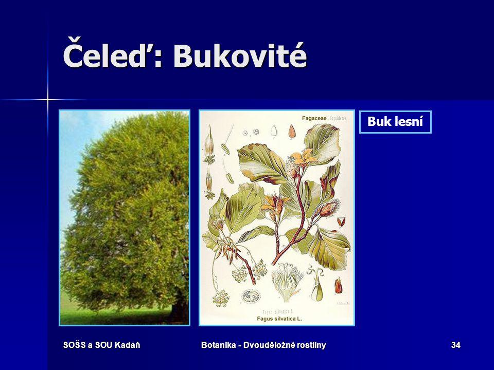SOŠS a SOU KadaňBotanika - Dvouděložné rostliny33 Čeleď: Bukovité Opadavé větrosnubné dřeviny. Opadavé větrosnubné dřeviny. Květenství: jehnědy, strbo